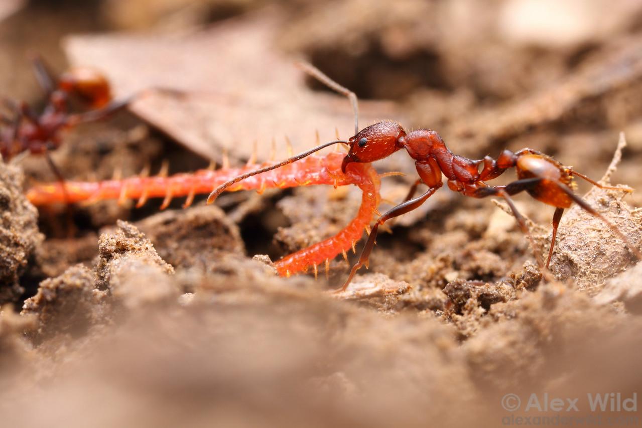 Aphaenogaster lamellidens