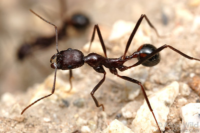 The large, leggy Aphaenogaster cockerelli is among the most distinctive of the Sonoran desert ants.    Tucson, Arizona, USA