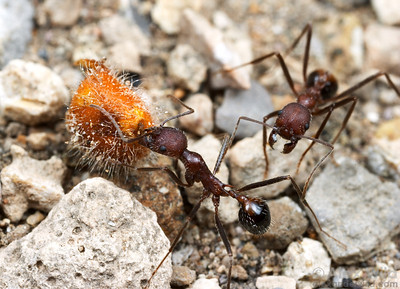 Aphaenogaster albisetosa harvester ants carry a seed back to their nest.  Portal, Arizona, USA