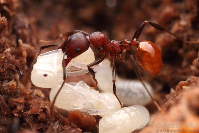 Aphaenogaster tennesseensis  Urbana, Illinois, USA