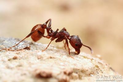 Aphaenogaster mariae  Urbana, Illinois, USA