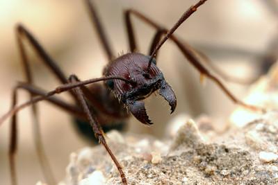 Aphaenogaster cockerelli, guarding the nest.  Tucson, Arizona, USA