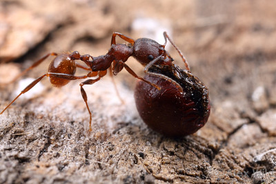 Some plants have come to rely so heavily on ants to spread their seeds about that they offer the insects a tasty treat in exchange for the dispersal service. Seeds of these species bear a lipid-filled structure called an elaiosome, whose sole function appears to be the attraction of ants.  Here, an Aphaenogaster fulva disperses a bloodroot (Sanguinaria canadensis) seed.  Urbana, Illinois, USA
