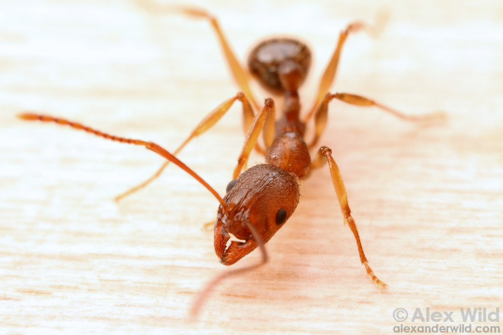 Aphaenogaster carolinensis  Croatan National Forest, North Carolina, USA