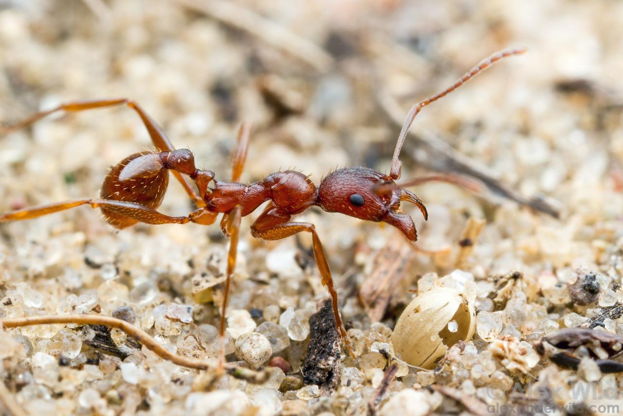 Aphaenogaster treatae