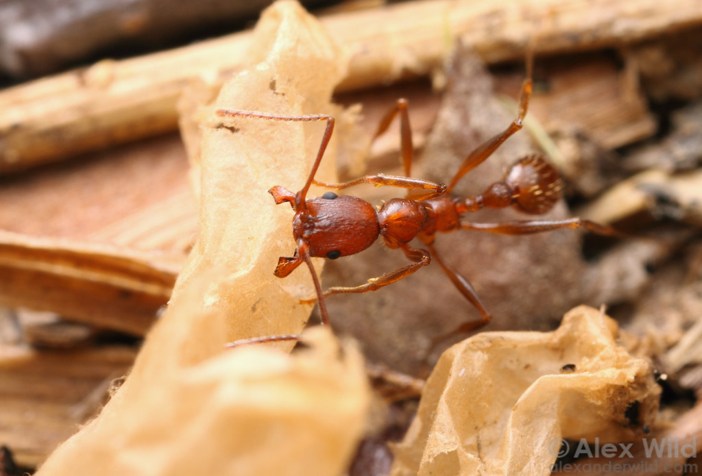 An Aphaenogaster treatae worker arranges a spent formicine cocoon around her nest entrance.  Lake Glendale, Illinois, USA