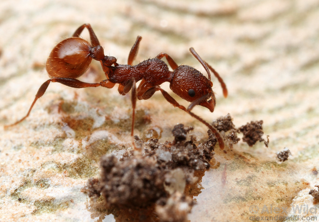 "Aphaenogaster mariae thread-waisted ant. Ants of this genus often place debris on liquid food (in this case, honey) as a sort of sponge. Once the food has been absorbed, the workers pick up the ""sponge"" and carry it back to the nest.