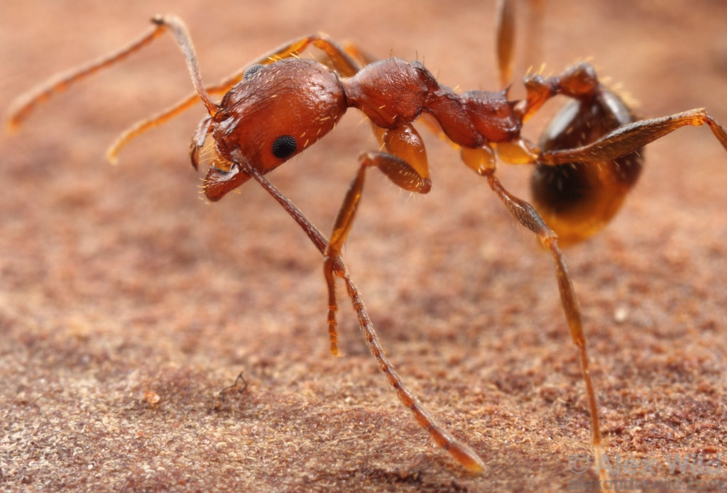 Aphaenogaster miamiana worker ant grooming herself.  Ants have a brush on their forelegs that are used for cleaning the antennae.