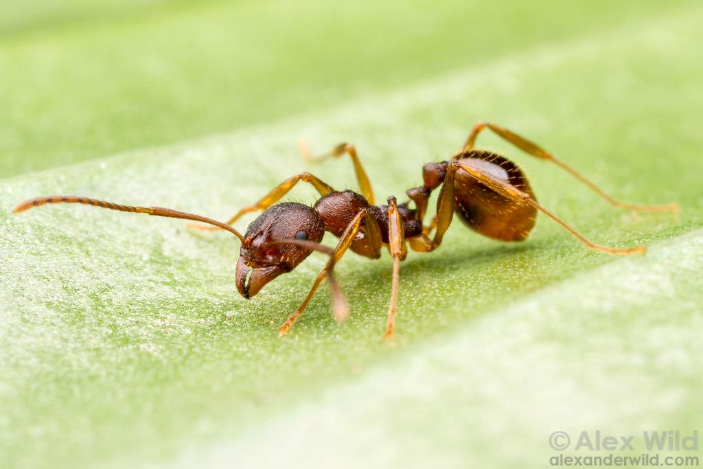 Aphaenogaster rudis