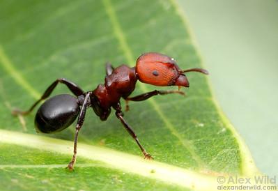 Atopomyrmex mocquerysi  St. Lucia, KZN, South Africa