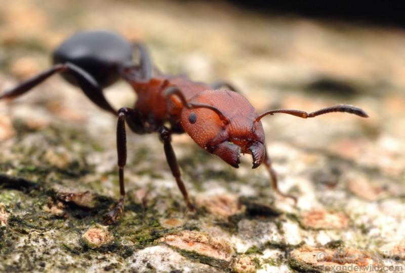 Atopomyrmex mocquerysi