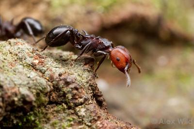 Atopomyrmex mocquerysi  Kibale forest, Uganda