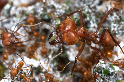 Soldier and worker ants in the fungus garden of an Atta cephalotes colony.  Captive colony at the California Academy of Sciences