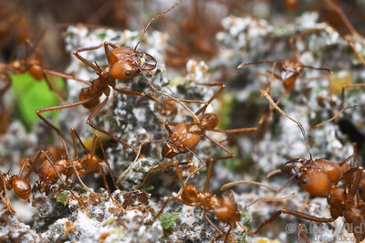 Atta cephalotes leafcutter ants are true agriculturalists, farming an edible fungus (visible here as a white mold) in underground chambers.  Captive colony at the California Academy of Sciences
