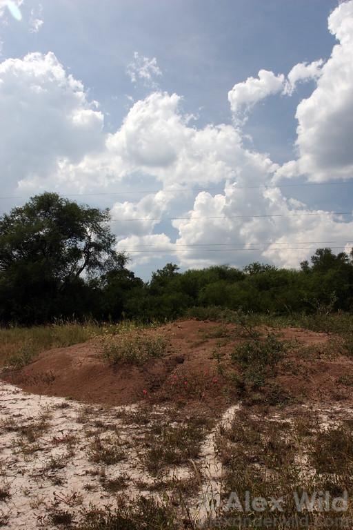A nest of the chaco leafcutter ant, Atta vollenweideri.  Resistencia, Chaco, Argentina