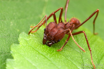 Atta texana, the Texas Leafcutter Ant.  Austin, Texas, USA