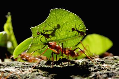 Atta cephalotes leafcutter ants.  Gamboa, Panama