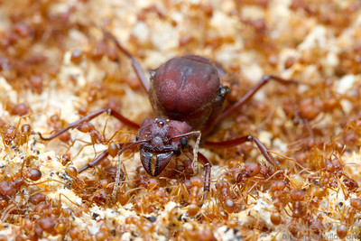 Atta texana Texas leafcutter ant, queen and workers in the fungus garden. In addition to the massize size difference between the mother queen and her daughters, note the difference in size among workers, each specialized for a different task in the nest.  Laboratory colony at the University of Illinois at Urbana-Champaign