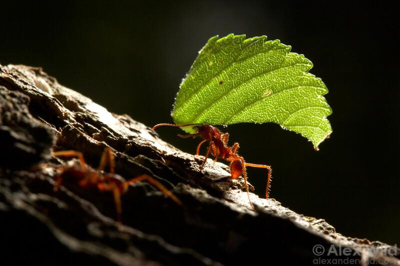Texas Leafcutter Ants (Atta texana)  Austin, Texas, USA