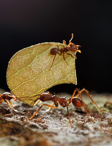 Atta cephalotes leafcutter ants.  Maquipucuna reserve, Pichincha, Ecuador