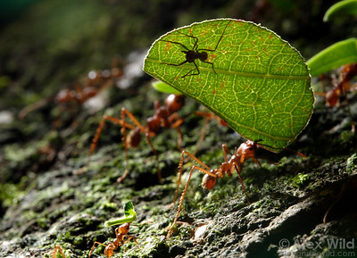 Atta cephalotes. A small leafcutter worker atop a leaf guards her sister against attacks by parasitic flies.  Ants carrying leaves cannot use their mandibles for defense, so they carry hitchhikers to ward off the parasites.  Gamboa, Panama