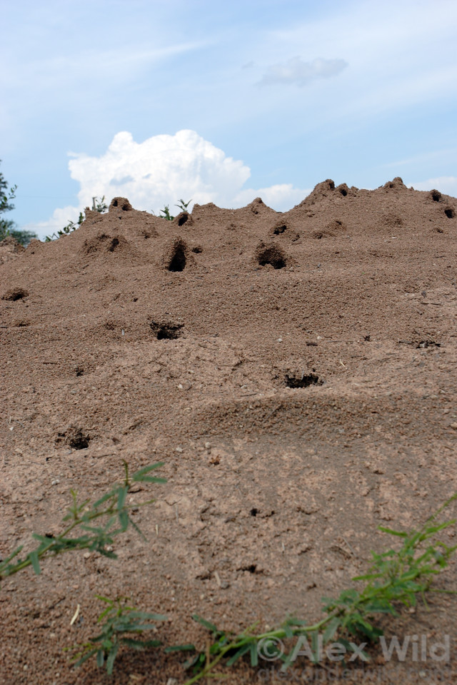 Ventillation tunnels on a mound of the chaco leafcutter ant Atta vollenweideri.  Resistencia, Chaco, Argentina