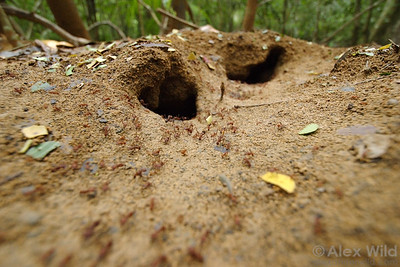 The busy nest entrance of Atta colombica, a forest-dwelling leafcutter ant.  Gamboa, Panama