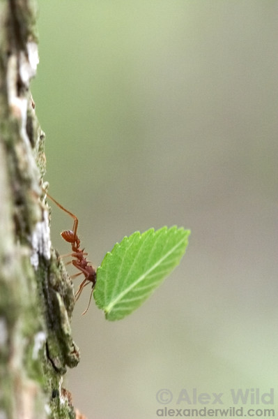 An Atta texana leafcutter worker carefully carries her cargo down a tree trunk.  Austin, Texas, USA