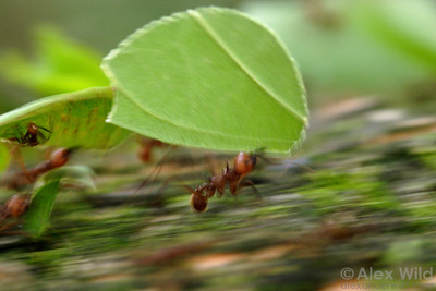 Atta cephalotes leafcutter ants hurry along a trail back to their nest.   Gamboa, Panama