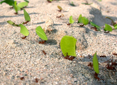 A busy trail of leafcutter ants (Atta cephalotes) at the edge of a tropical pasture.  Archidona, Napo, Ecuador