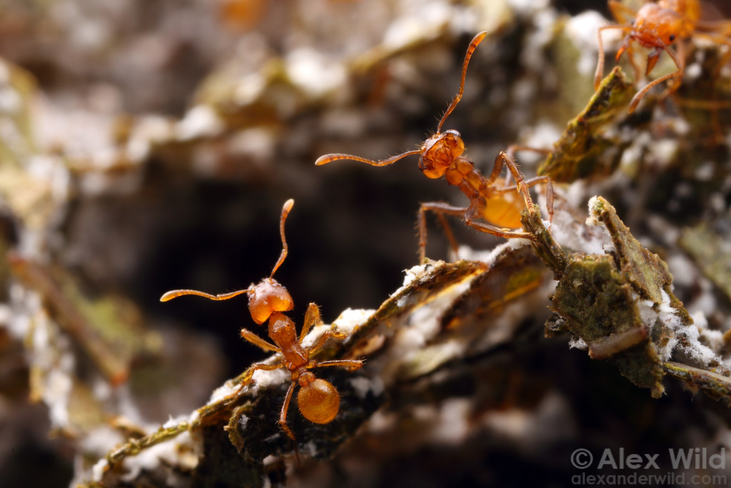 Atta cephalotes leafcutter ants in the fungus garden.  Laboratory colony at the University of Wisconsin