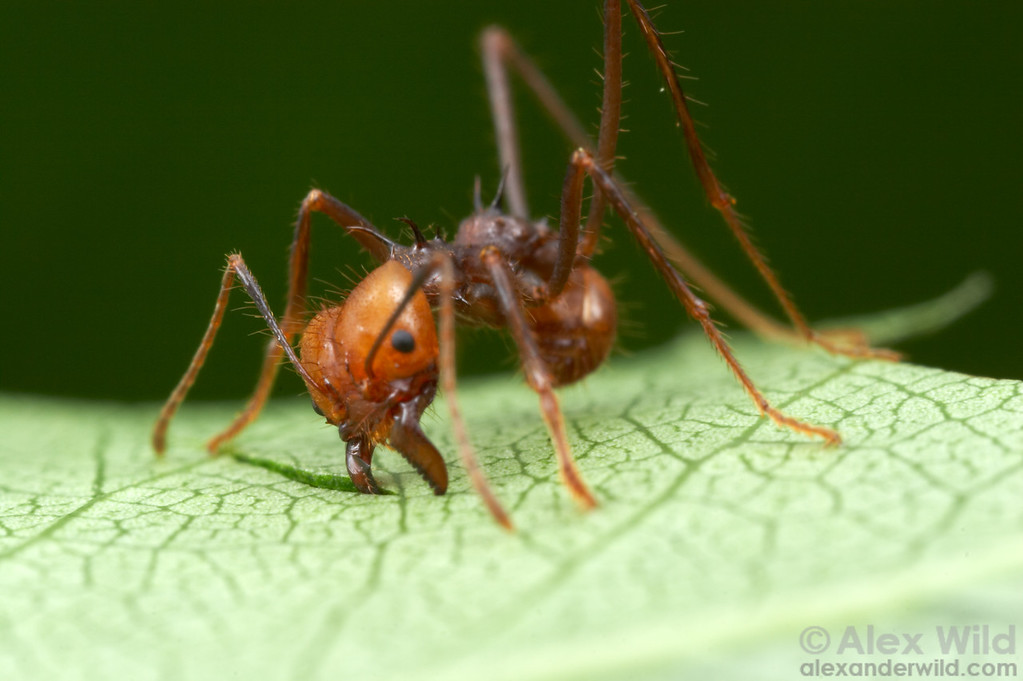 Atta cephalotes. Ants slice through leaves using a repeated scissoring motion, where the leading mandible (on the right) is anchored into the leaf and pulls the trailing mandible to make the cut.  Captive colony at the University of Texas