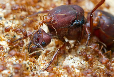 A queen Atta texana Texas leafcutter ant sits amid her much smaller daughters in the fungus garden.  Laboratory colony at the University of Illinois at Urbana-Champaign