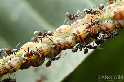 Dolichoderine ants are high-energy insects. The Azteca ants that rule tropical rainforest canopies, for example, get many of their carbohydrates from relationships with honeydew-producing scale insects.  Jatun Sacha, Napo, Ecuador