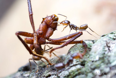 Ants won't often eat members of their own species, but they are happy to consume the dead bodies of other types of ants. Here, fiesty little Azteca ants cooperate to lug the remains of a leafcutter ant worker back to their nest, where it will be fed to the developing larvae.  Potrerillo, Tolima, Colombia