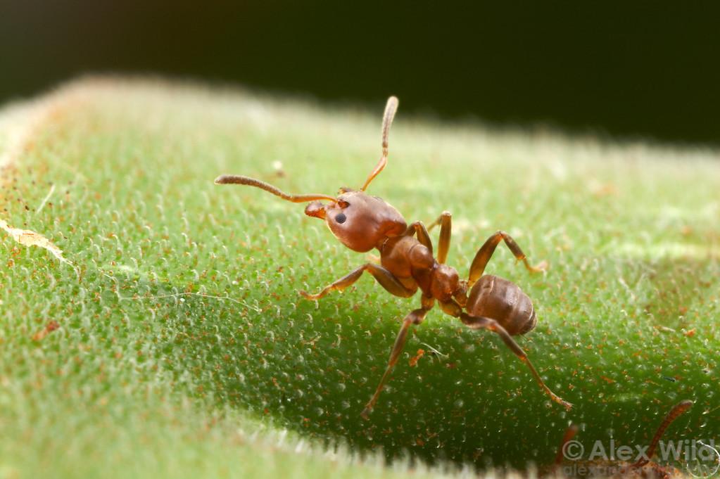 Azteca alfari worker ant guarding her Cecropia host tree.  Gamboa, Panama
