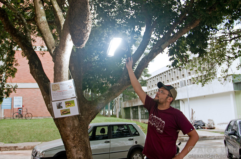 Myrmecologist Ricardo Solar illuminates a large Azteca carton nest on the campus of the Universidade Federal de Viçosa.  Viçosa, Minas Gerais, Brazil