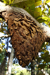 The carton nest of an Azteca trigona -complex species hangs from a tree branch.  Gamboa, Panama