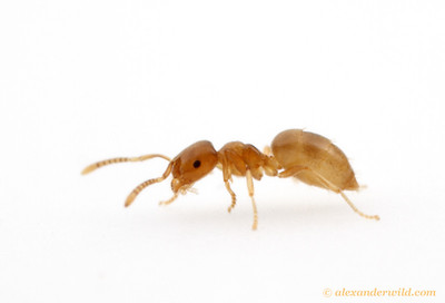 Brachymyrmex depilis is one of the smallest native North American ants.  Urbana, Illinois, USA