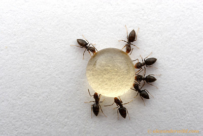 Brachymyrmex patagonicus is a South American rover ant that is spreading rapidly across the southern and western United States. Here, workers feed from a honey bait.  Tucson, Arizona, USA