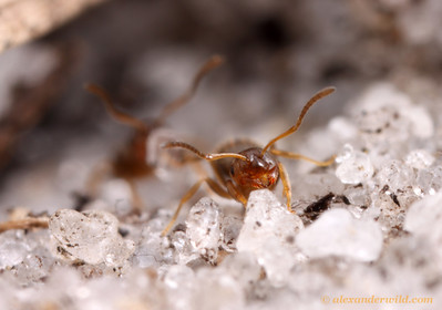 Brachymyrmex obscurior rover ants carry sand grains out from an excavation deep within their nest.  Archbold Biological Station, Florida, USA