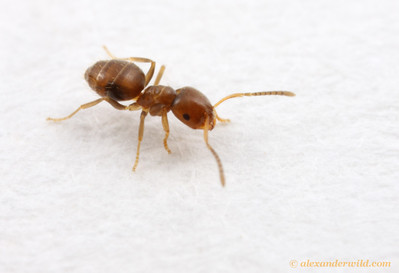 Brachymyrmex obscurior  Archbold Biological Station, Florida, USA