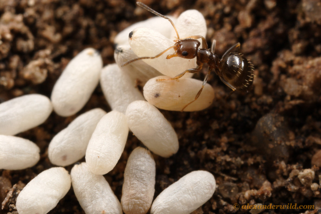 Brachymyrmex patagonicus with pupae in the brood nest.  Tucson, Arizona, USA