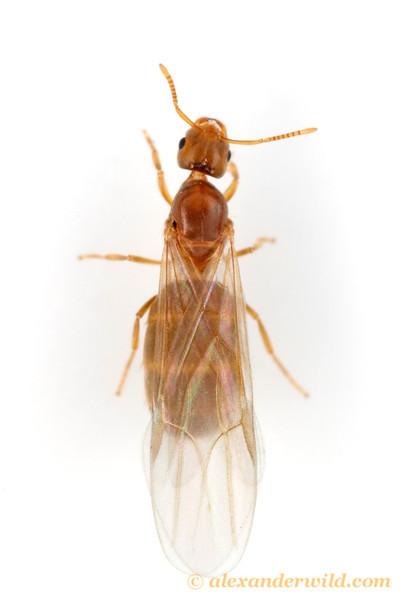 Brachymyrmex depilis, winged queen.  Urbana, Illinois, USA