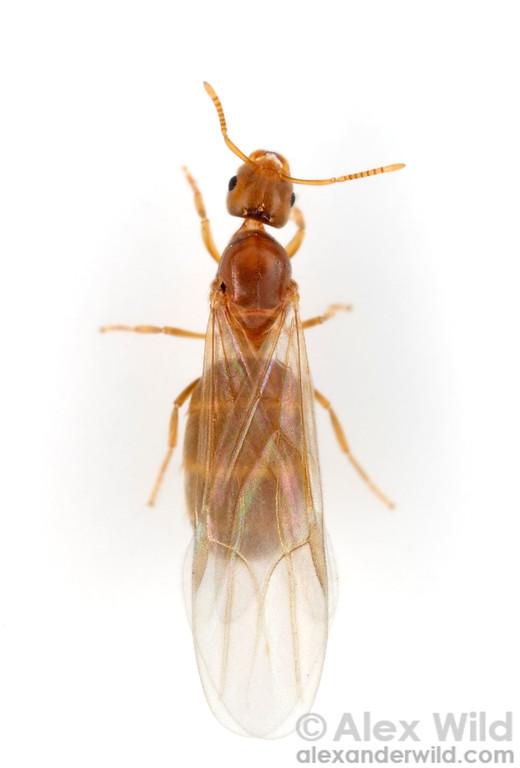Brachymyrmex depilis, winged queen.  Urbana, Illinois, USA