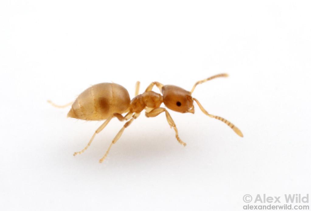 Brachymyrmex depilis is one of the smallest native North American ants.  Urbana, Illinois, USA