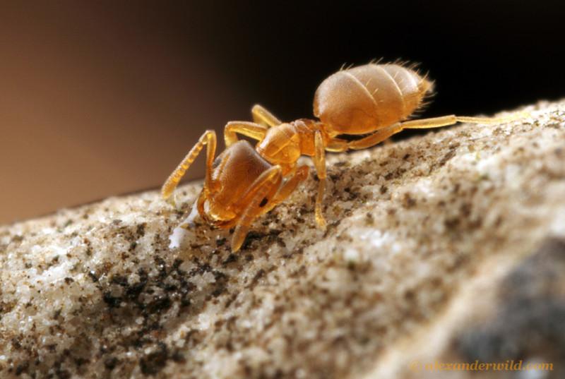 Brachymyrmex depilis is one of the smallest North American ants.  Urbana, Illinois, USA