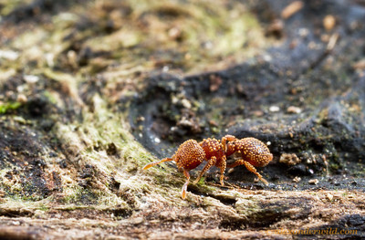 Calyptomyrmex piripilis  Kibale forest, Uganda (PSW16850)