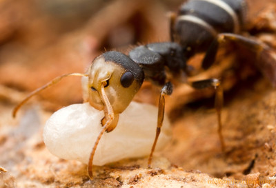 A colorful Camponotus worker carries a cocoon to safety when her nest is disturbed by the photographer.  Icononzo, Tolima, Colombia