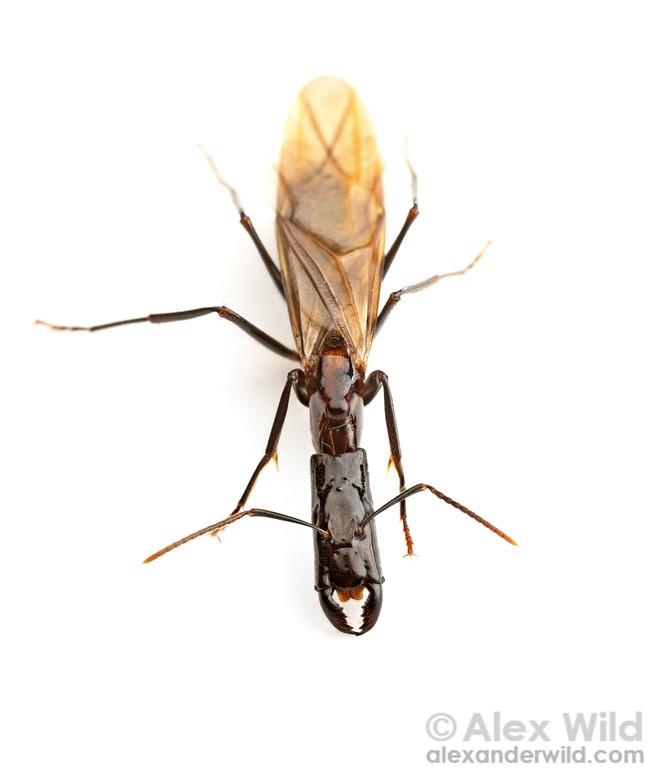 Camponotus mirabilis